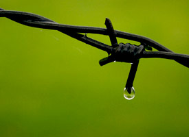 Adversity: Drop of water falling off barbed wire
