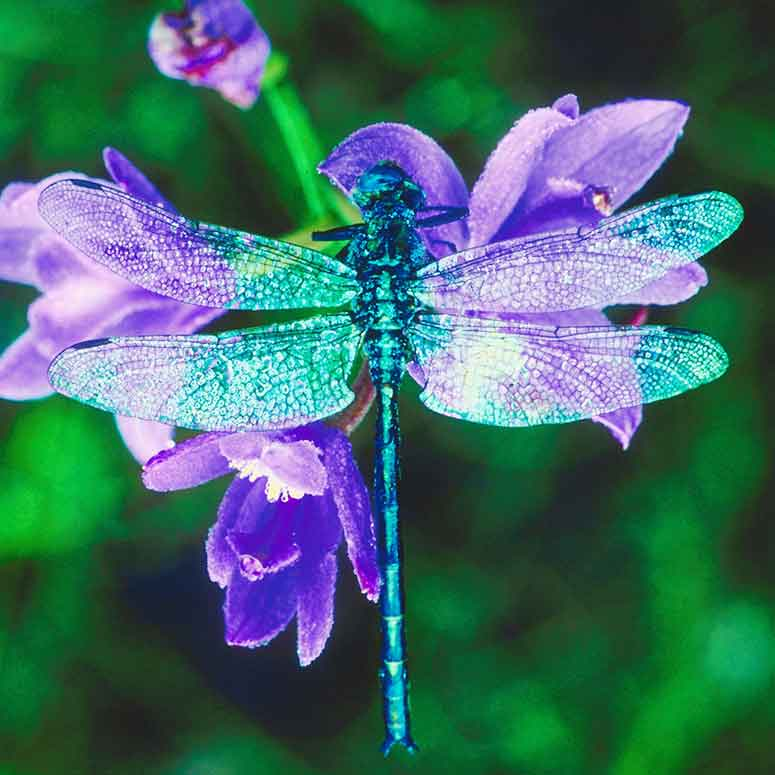Dragonfly on purple flower