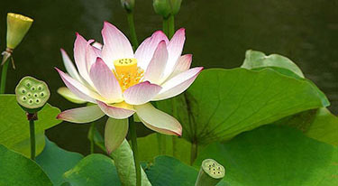 Loss: Lotus flower growing in pond